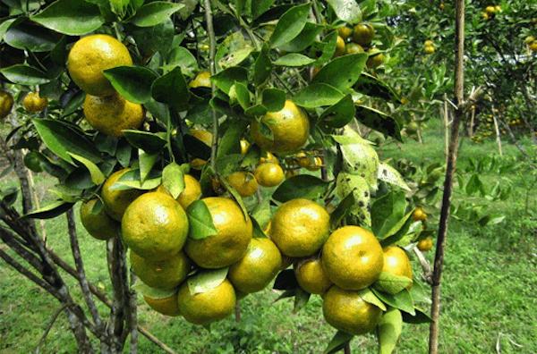 Pohon Jeruk Pontianak